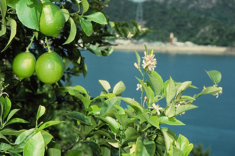 青いレモンの島