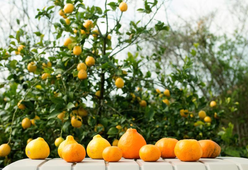 青いレモンの島・岩城島の柑橘