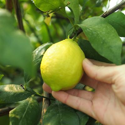 岩城島のレモン2