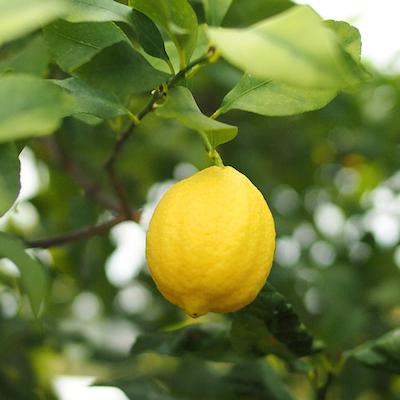 岩城島のレモン3