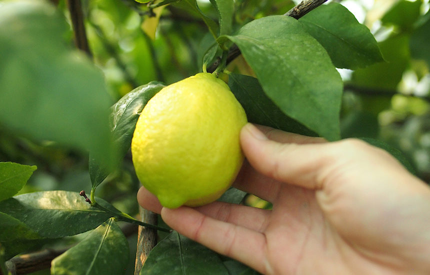 青いレモンの島・岩城島のレモン