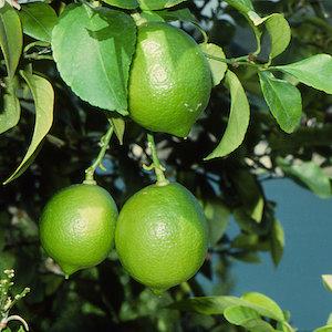 「青いレモンの島」のレモン